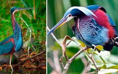Newest Costa Rica Birding Tour: Quest for the Agami Heron