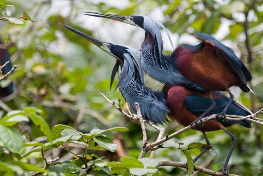 Birding Cano Negro Costa Rica – A Complete Guide